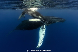 Humpback Mum and calf at the Silver Banks. by Christian Schlamann